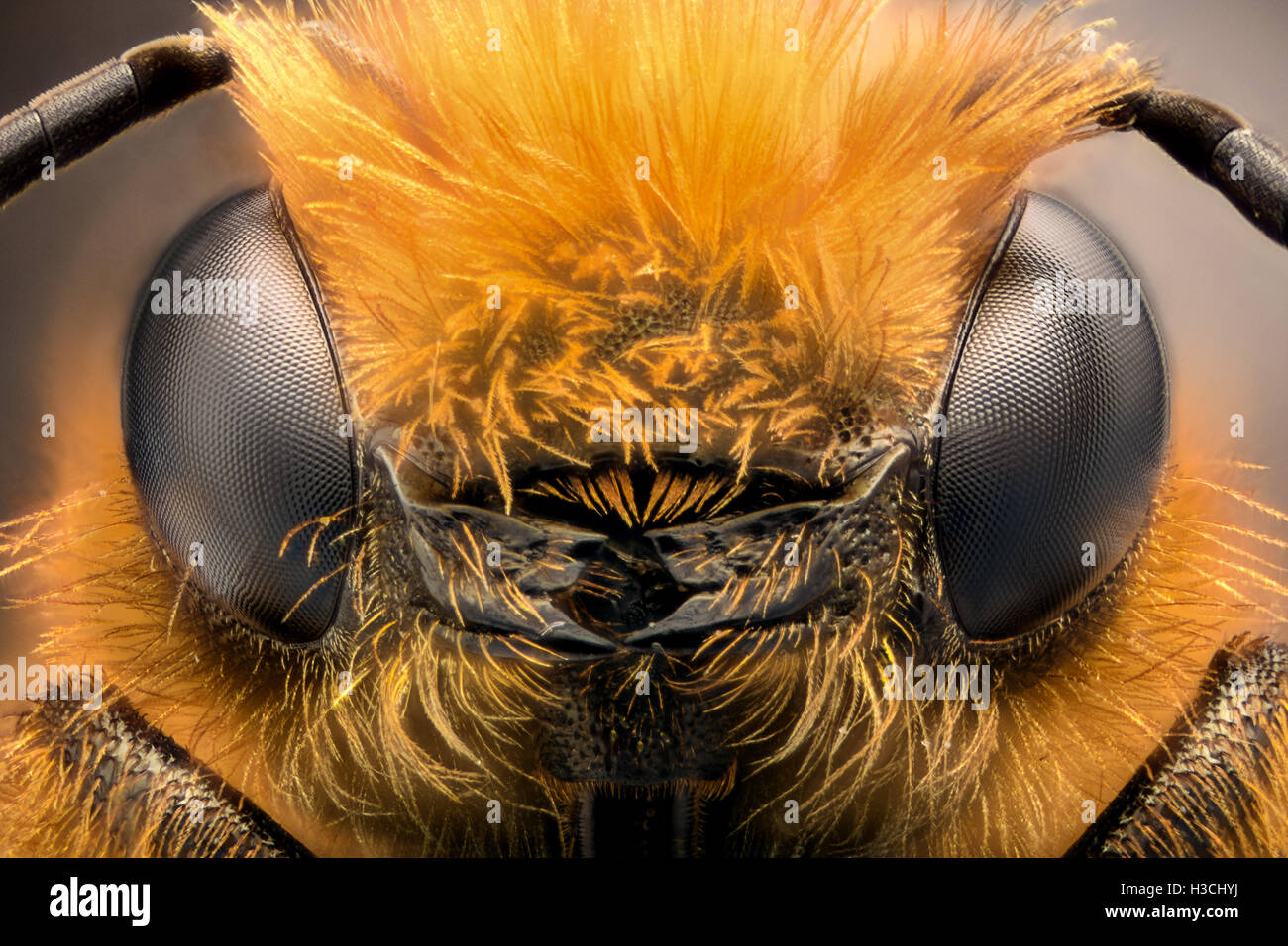 Extreme magnification - Solitaire Bee, Megachilidae - Stock Image