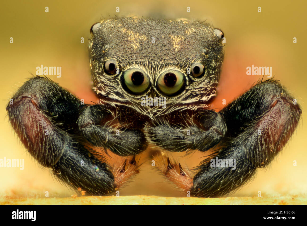 Extreme magnification - Jumping Spider - Stock Image