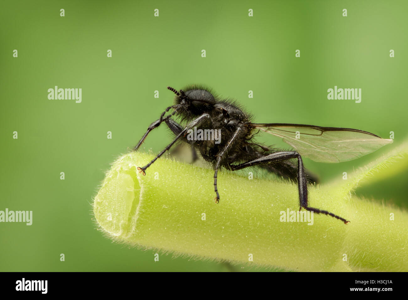 Black wasp in nature - Stock Image