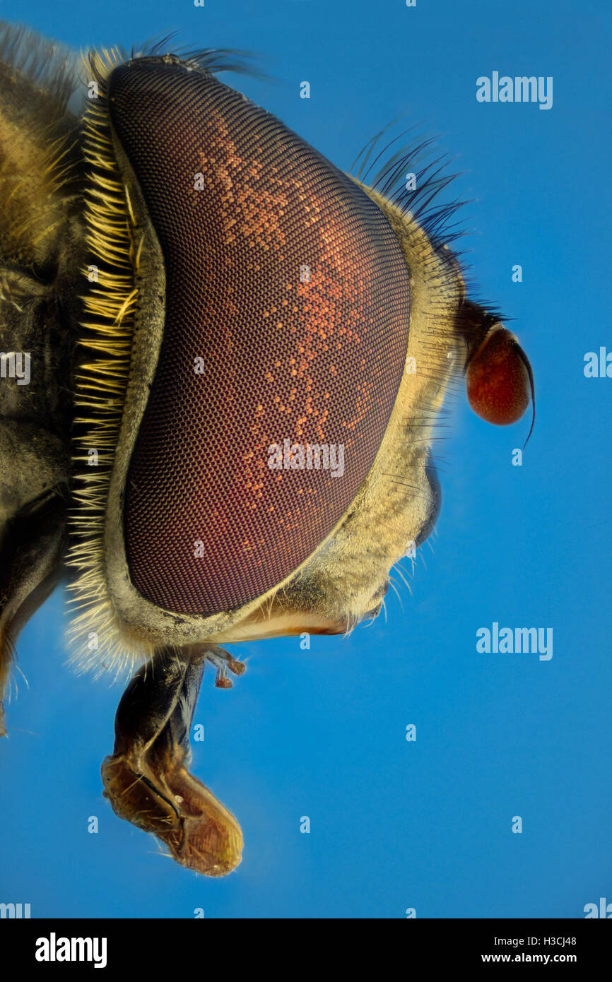 Extreme magnification, Fake bee, side view - Stock Image