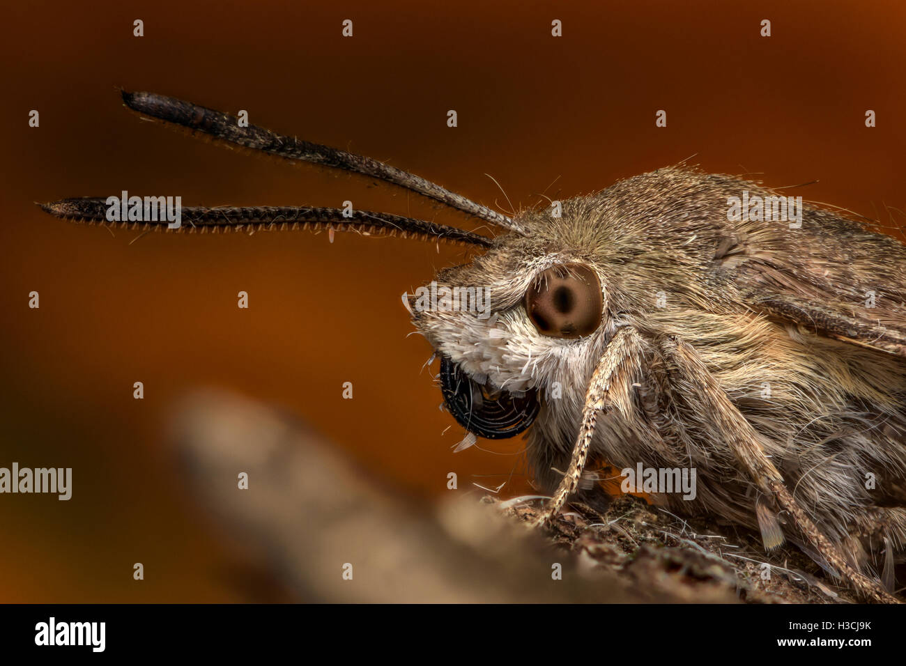 Extreme magnification - Hummingbird hawk-moth - Stock Image