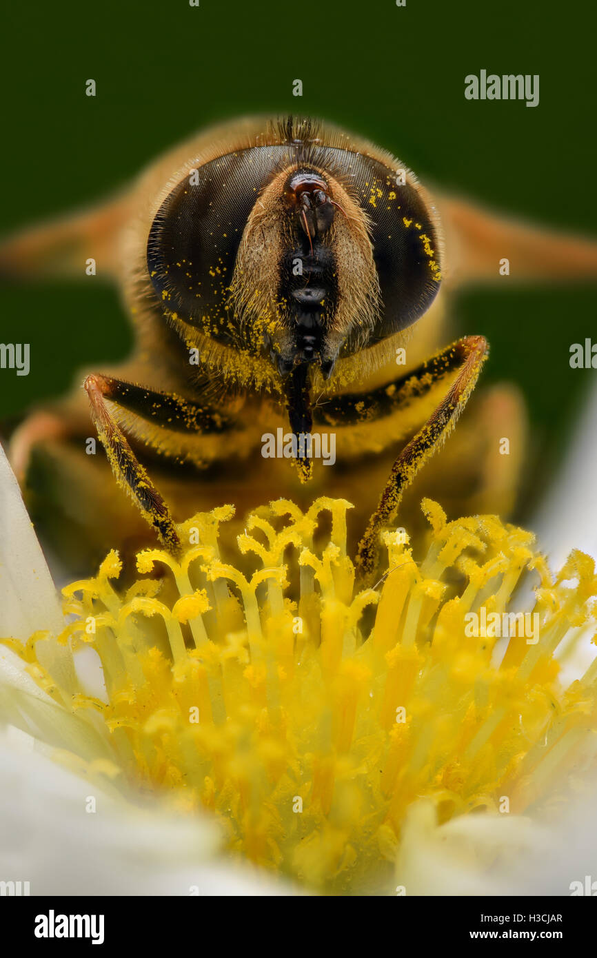 Extreme magnification - Bee pollinating, front view - Stock Image