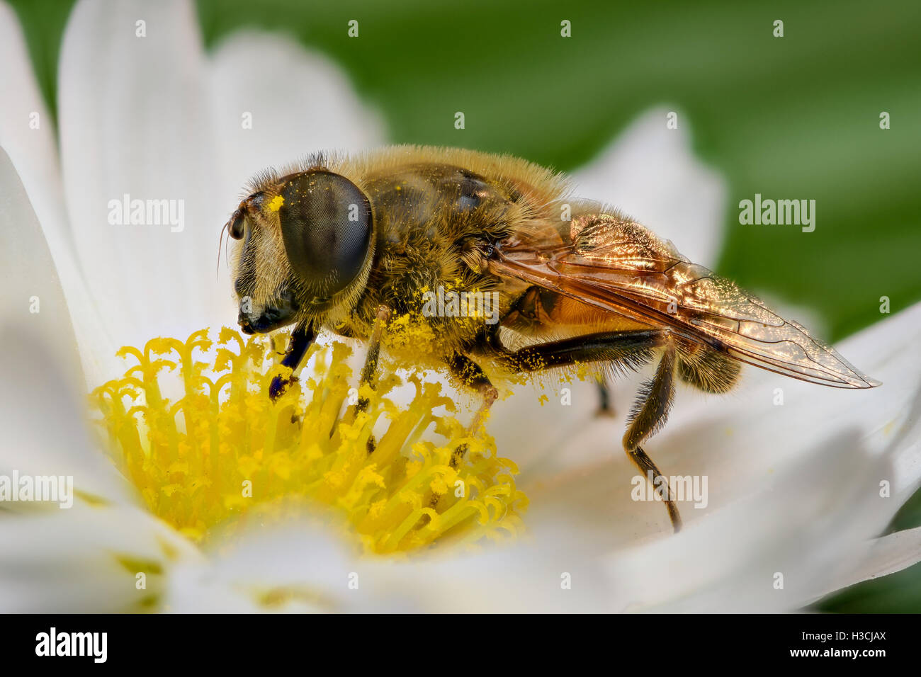 Extreme magnification - Bee pollinating, side view Stock Photo