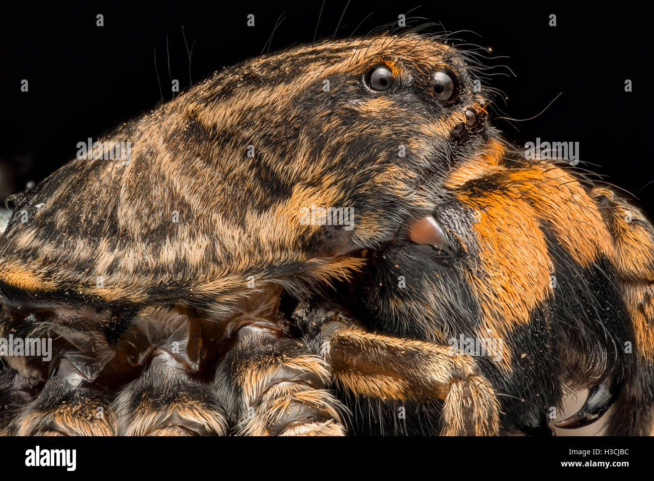 Extreme magnification - Wolf Spider side view - Stock Image