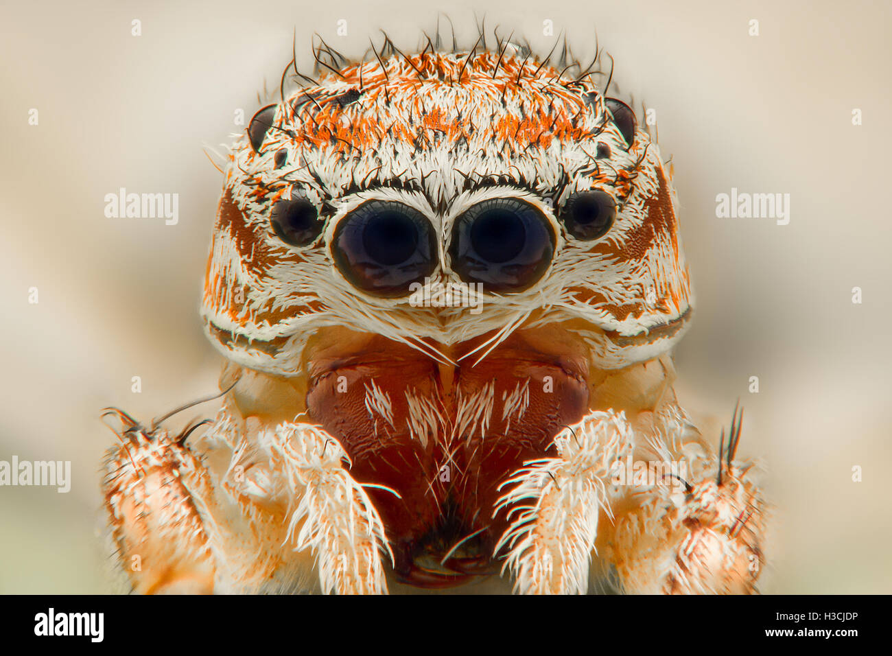 Extreme magnification - Jumping spider portrait, front view - Stock Image