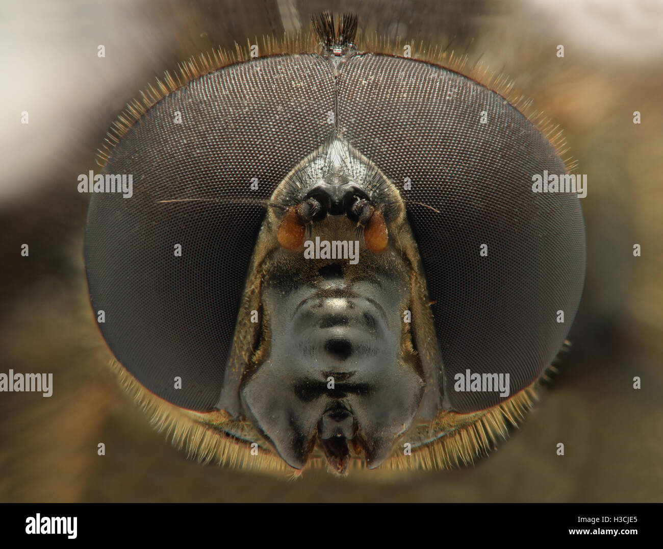 Extreme magnification - Fly imitating bee - Stock Image