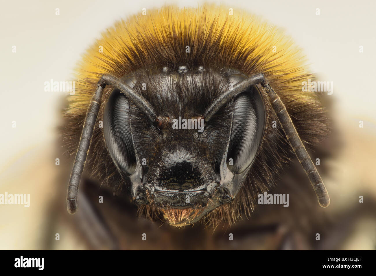 Extreme magnification - Bublebee - Stock Image