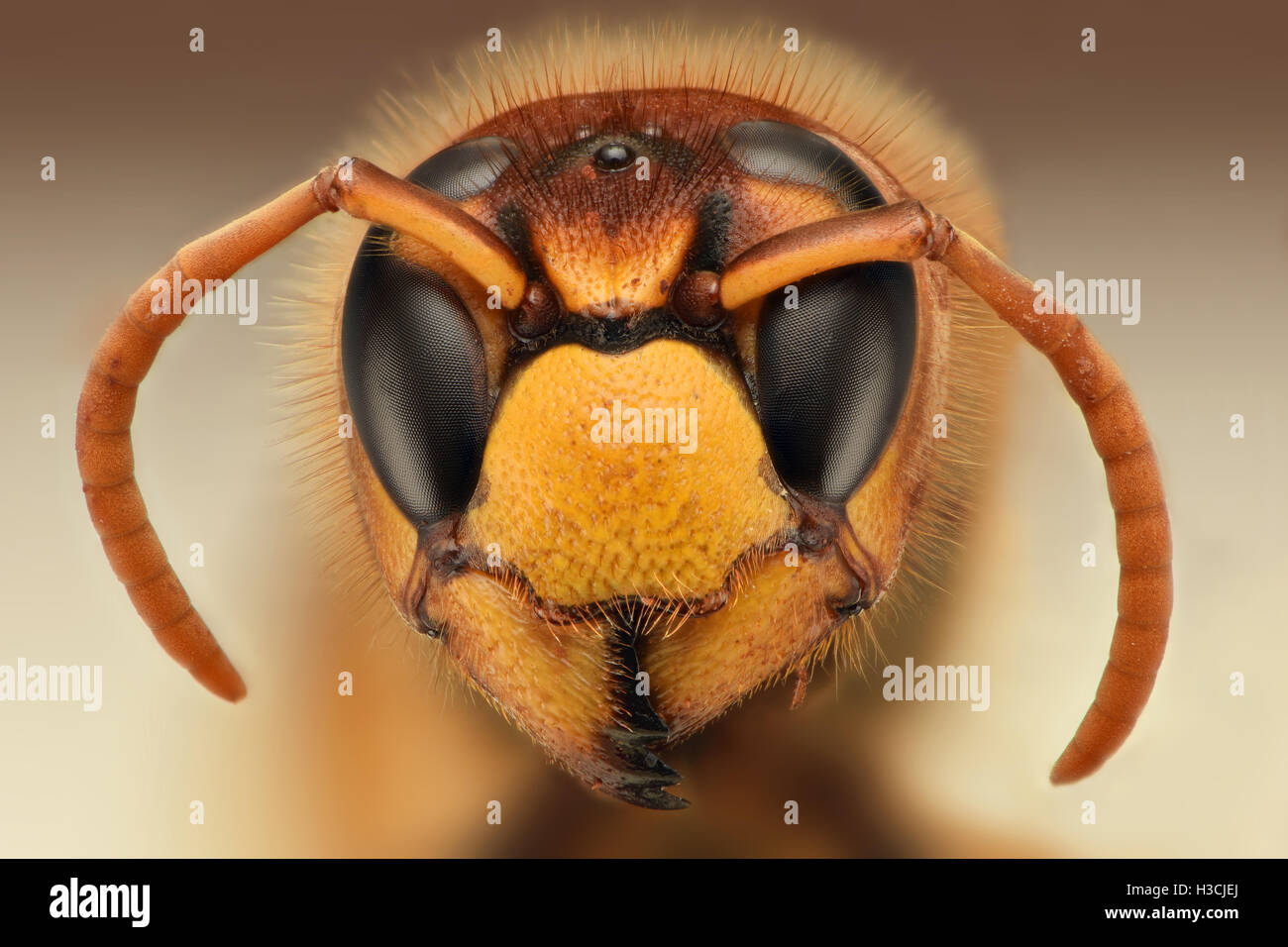 Extreme sharp closeup of wasp head - Stock Image