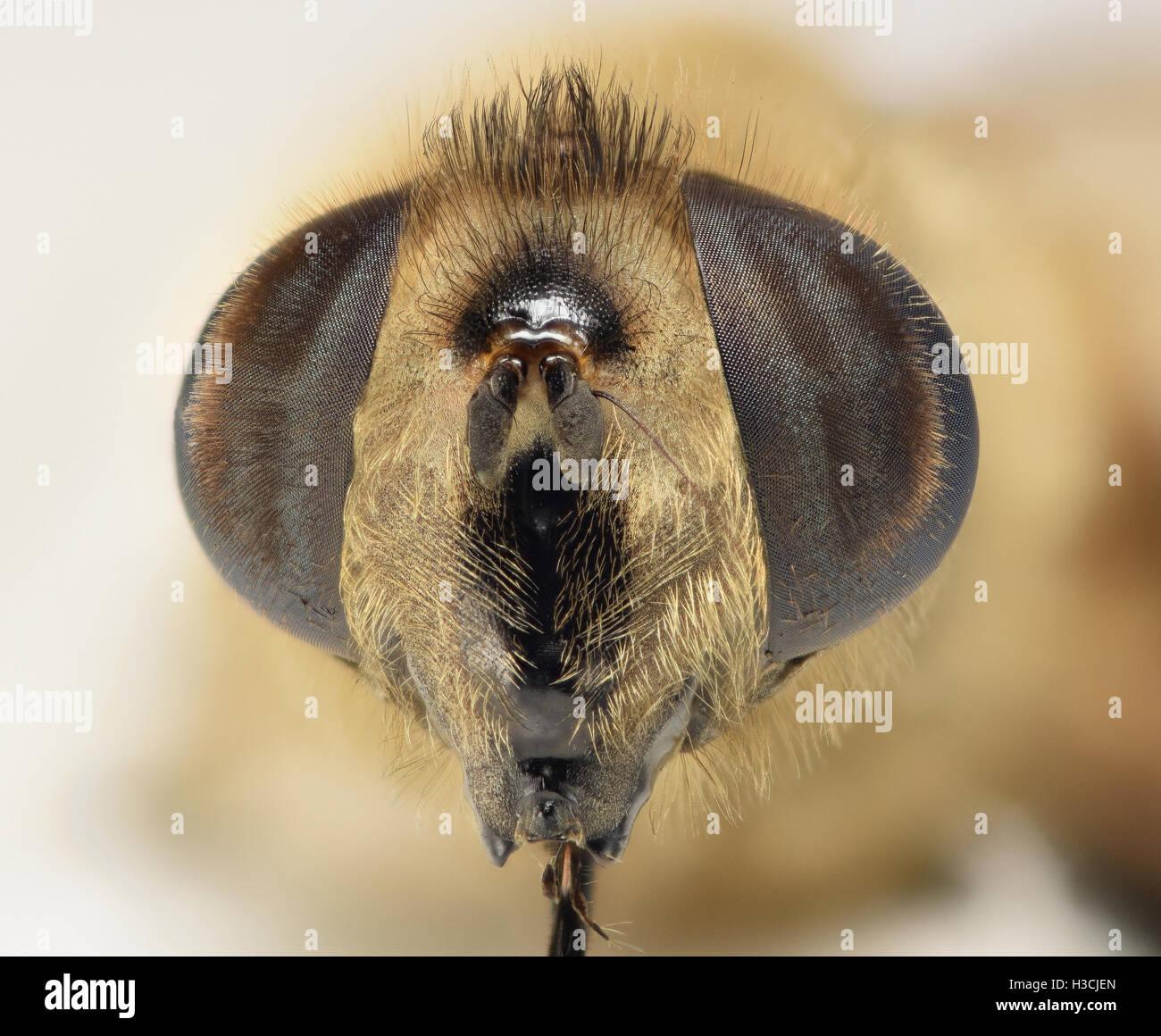 Hover fly macro head shot at 2:1 magnification Stock Photo