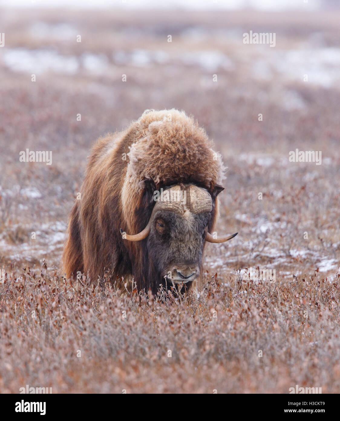 Muskox near the Dalton Highway, Alaska. - Stock Image