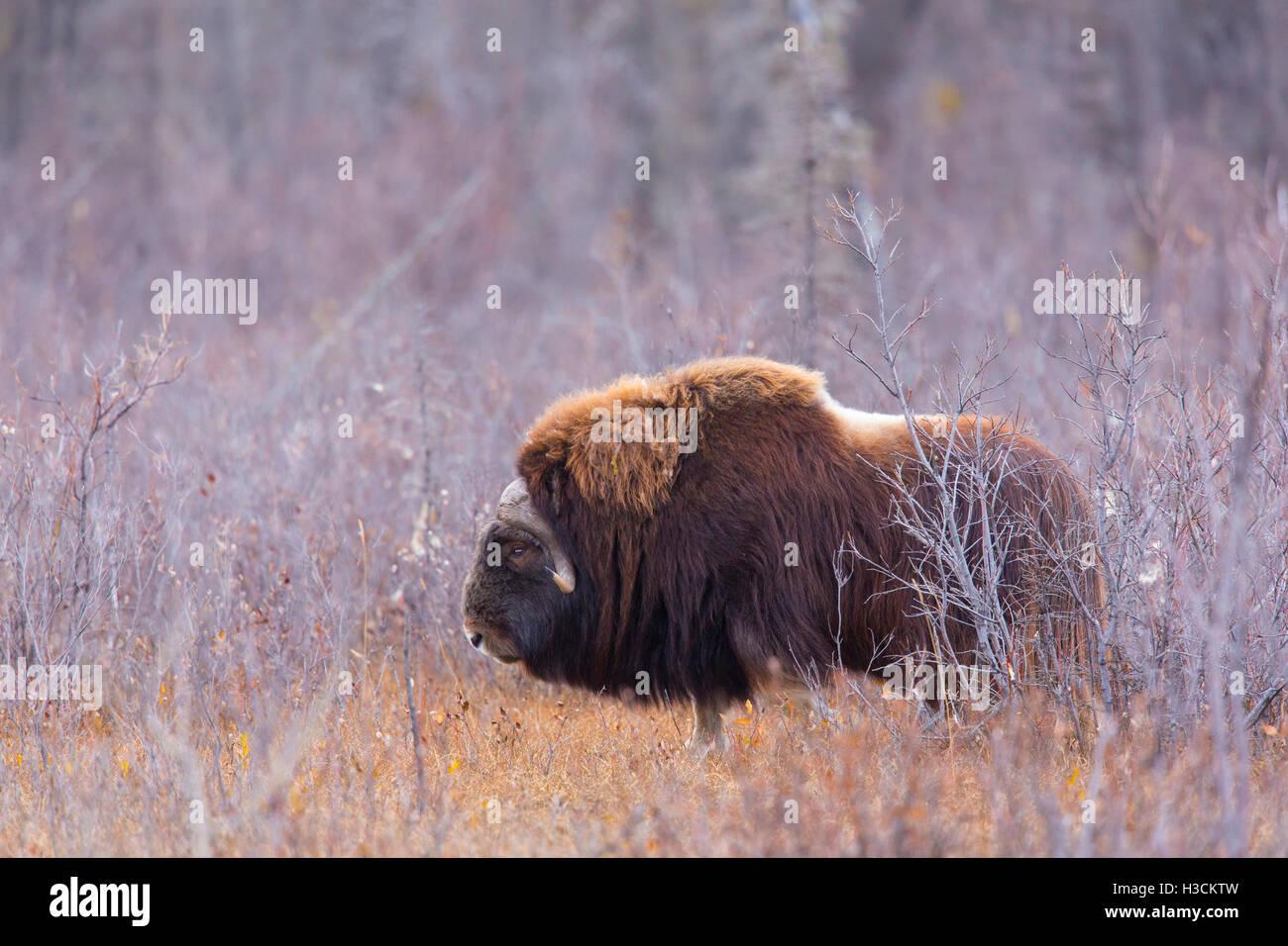 Muskox along the Dalton Highway, Alaska. - Stock Image