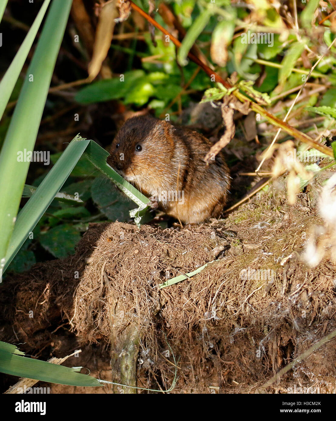 Water Vole,(Arvicola amphibius),eating - Stock Image
