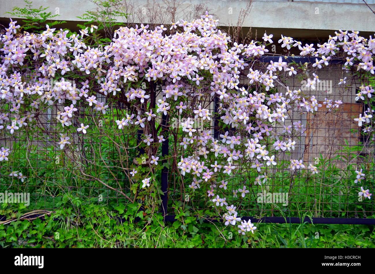Pink clematis flowers climbing on garden gate stock photo 122598353 pink clematis flowers climbing on garden gate mightylinksfo