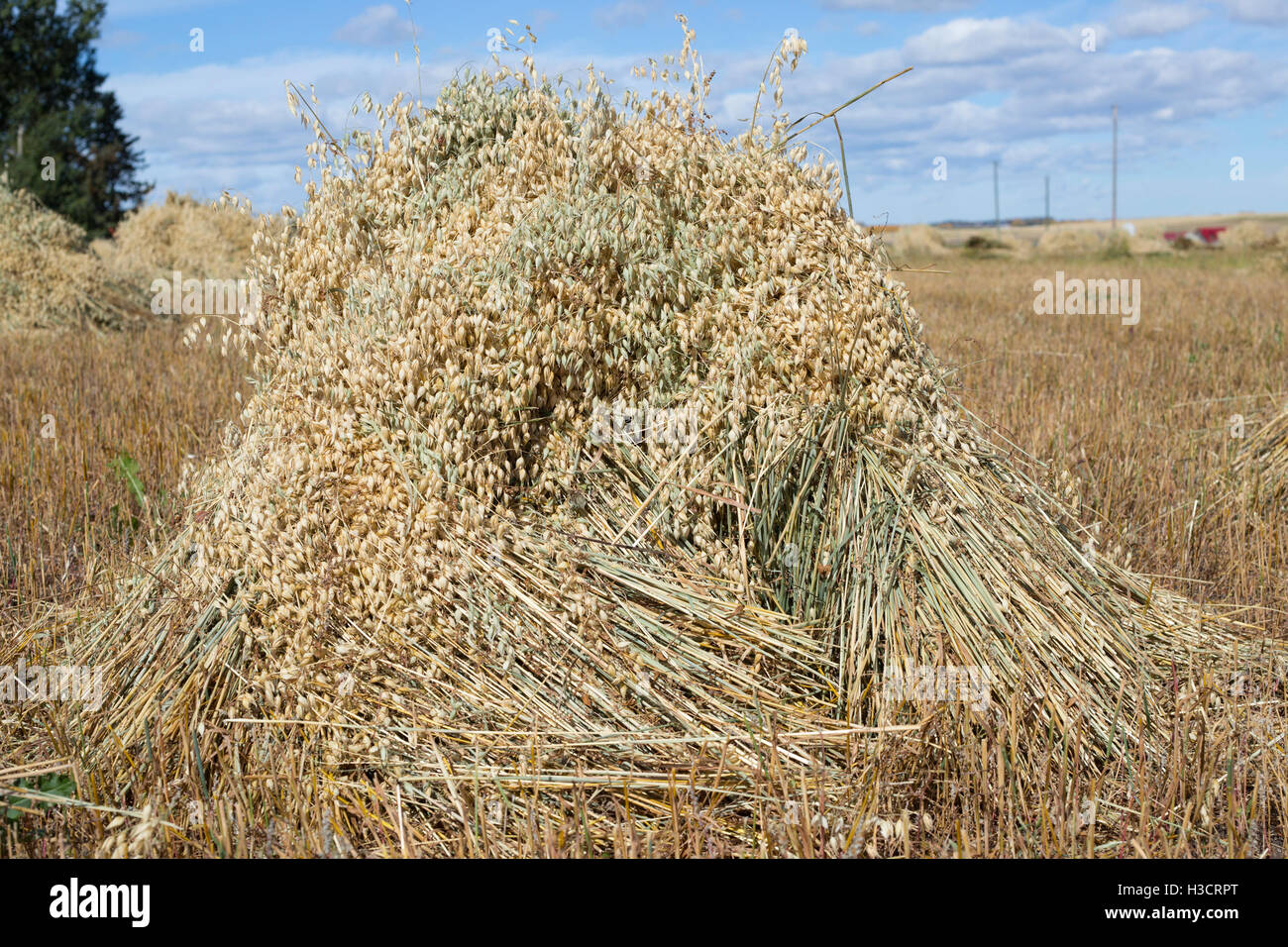 Oat stook in farm field during harvest - Stock Image