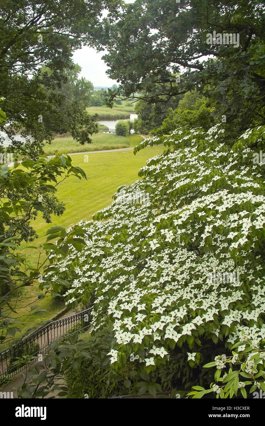 White flowers of dogwood, dog wood, Blumenhartriegel, Blütenhartriegel (Cornus cousa). Usable for backgrounds, - Stock Image