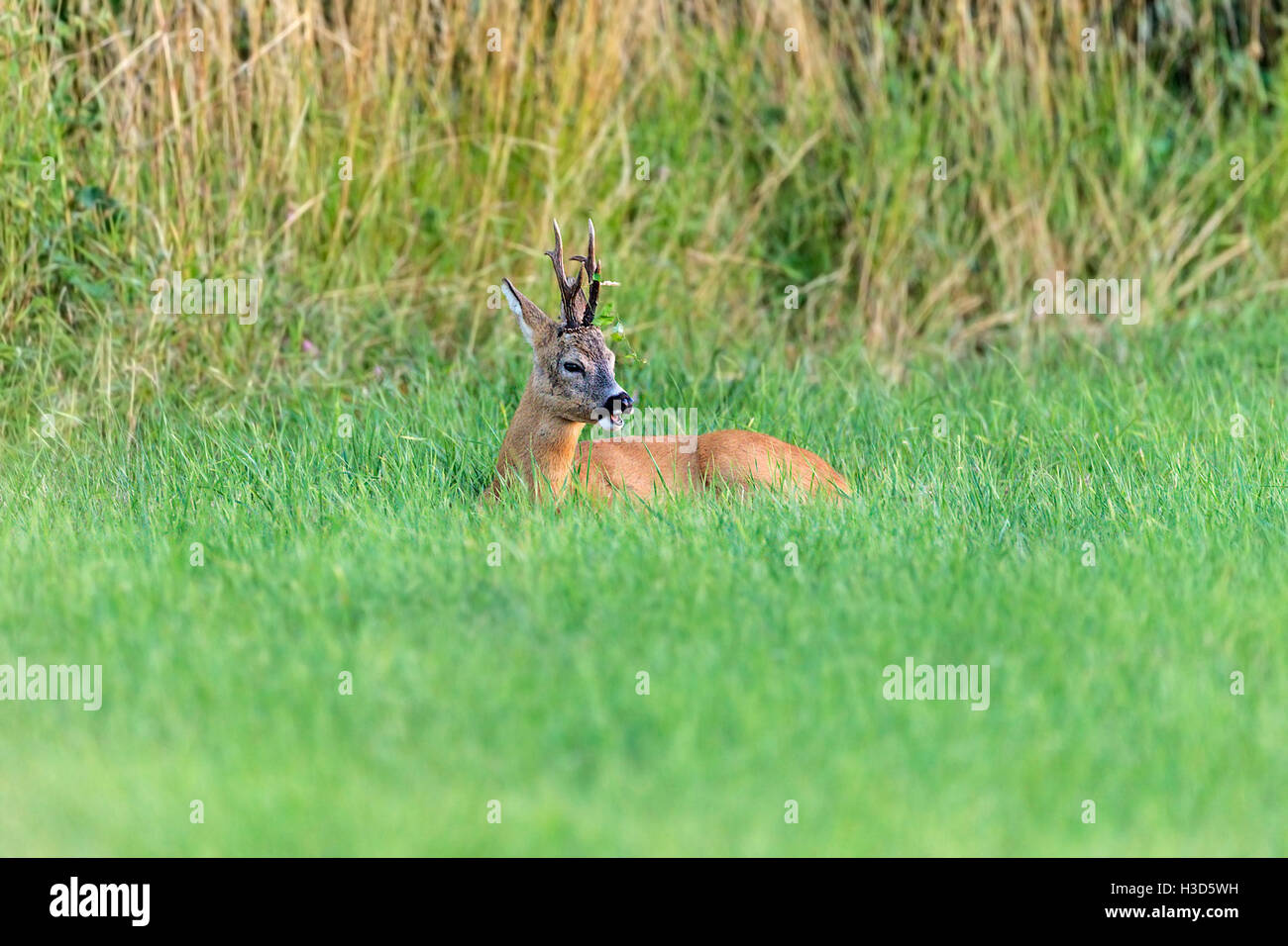 A young territorial male Roe deer resting while ruminating during the annual rut, Norfolk, England - Stock Image