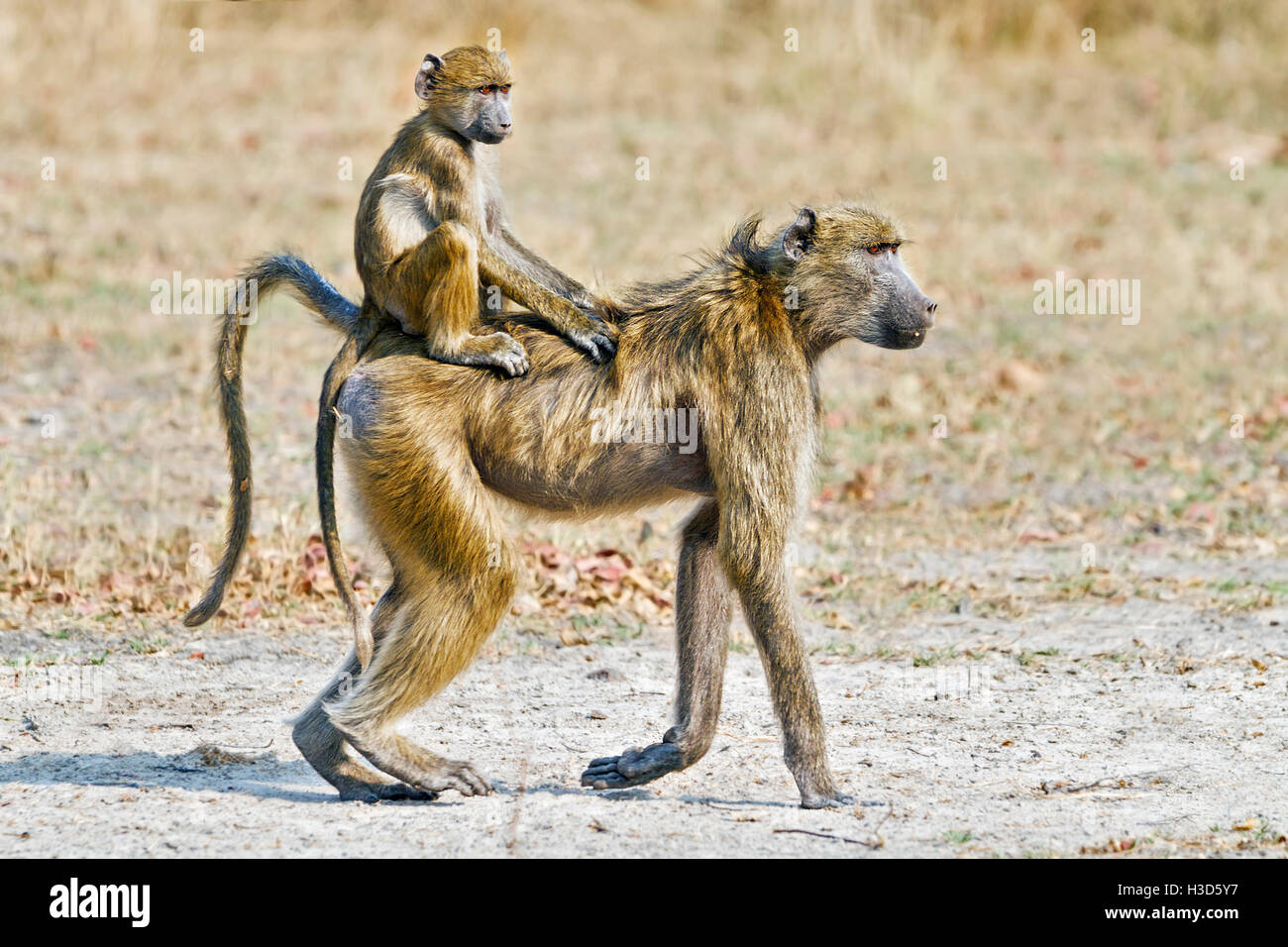 A juvenile Savanna baboon riding in the jockey position on its mother's back, Mosi-oa-Tunya National Park, Zambia - Stock Image