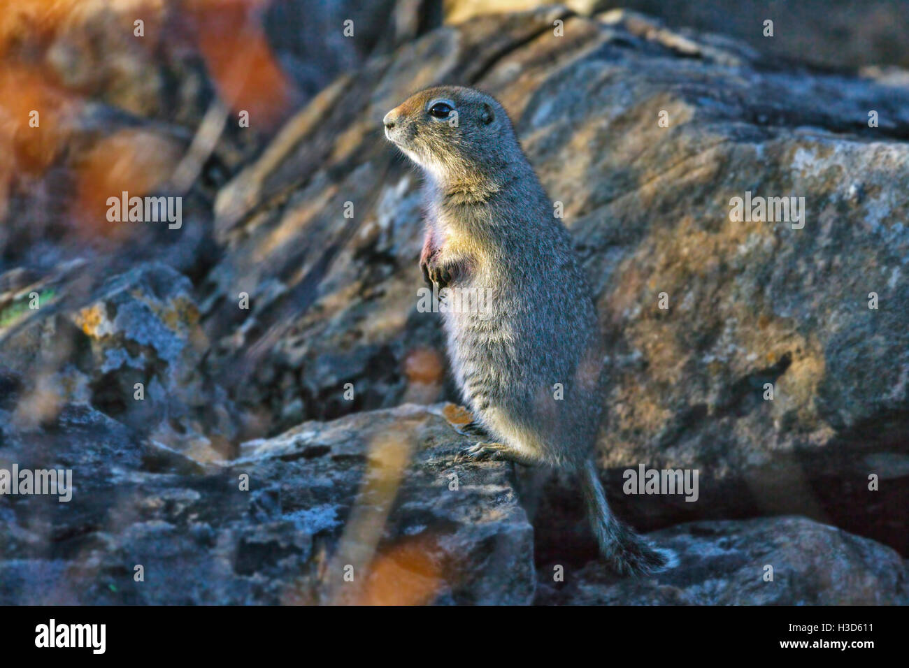 Arctic ground squirrel or parka, stands on a pile of rocks high in the tundra scrub prior to hibernation, Alaska, - Stock Image