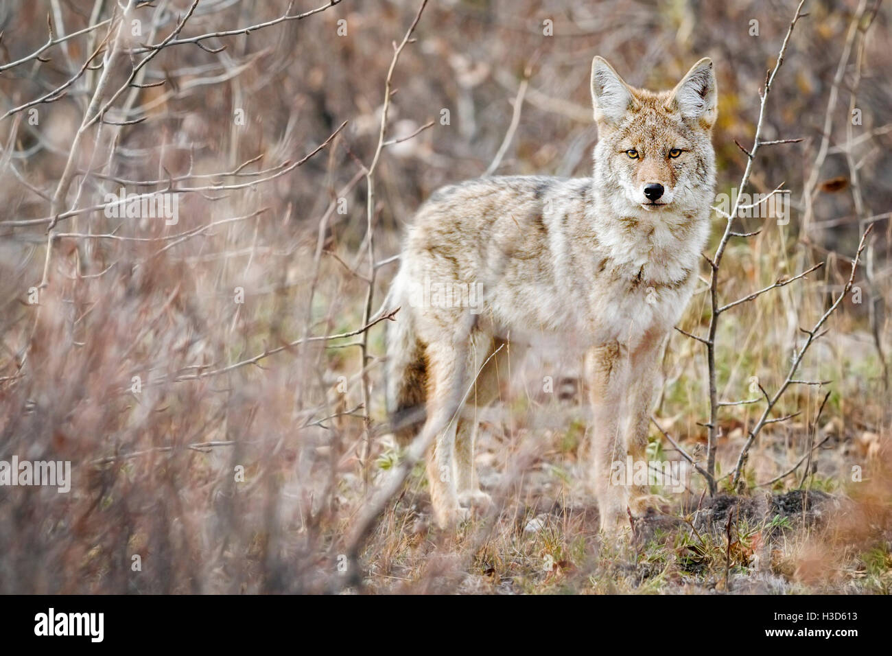 A lone Northern Coyote (Canis latrans incolatus) watches curiously from the cover of the Alaskan bush  I spent a - Stock Image