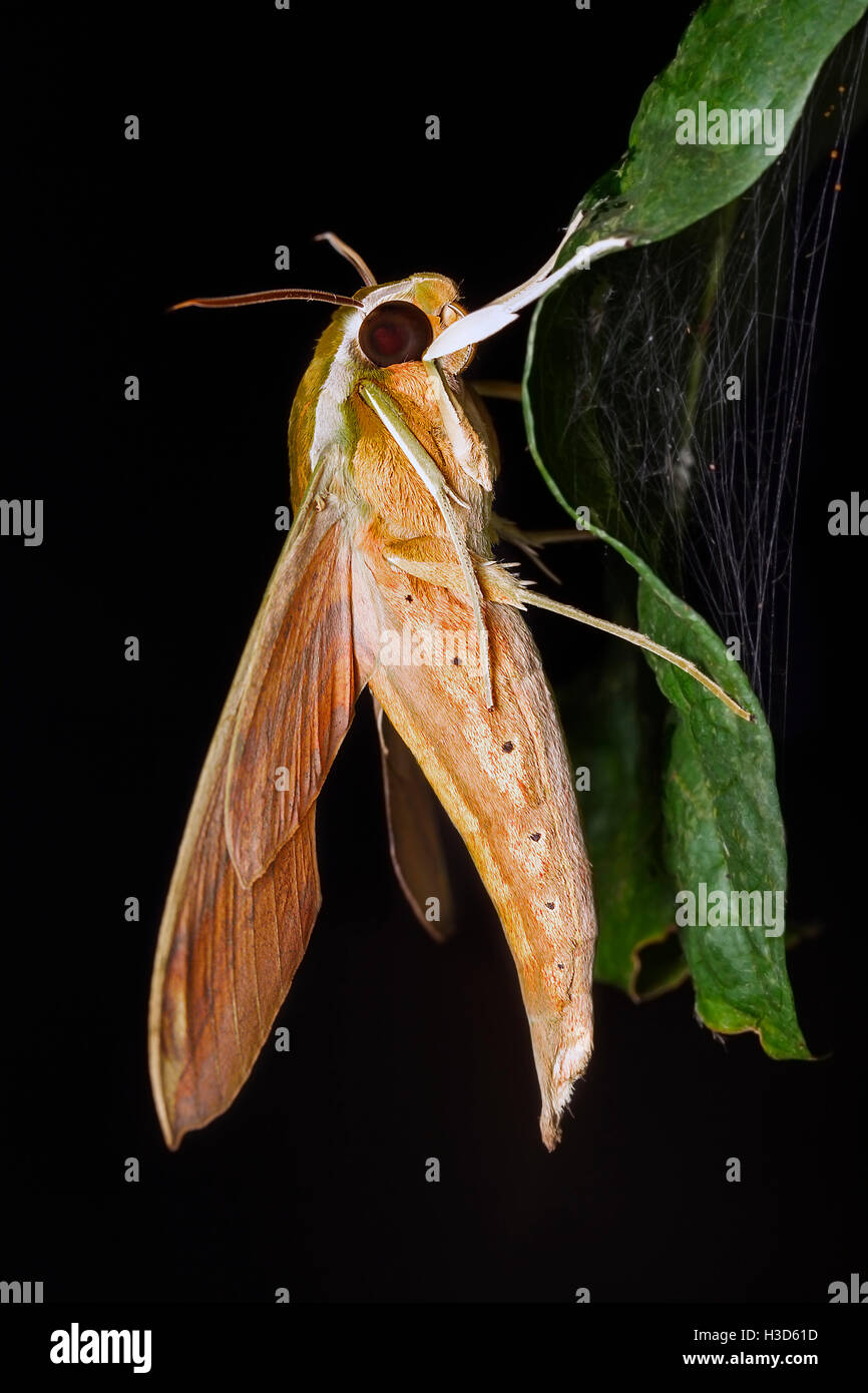 Moth in the tropical rainforest of Malaysia. - Stock Image
