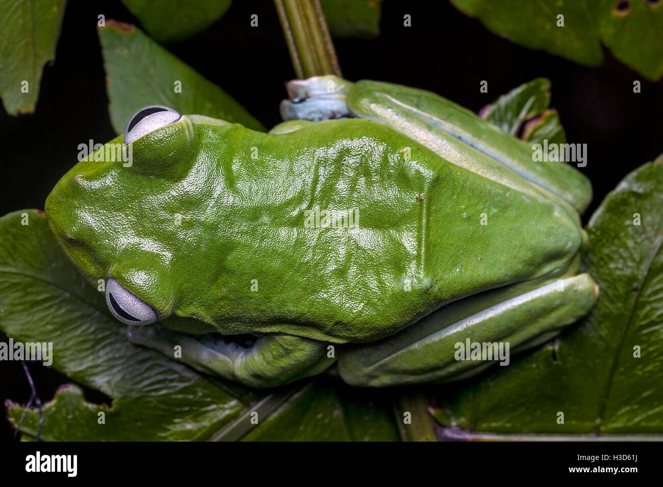 Aerial view of Norhayati's Flying Frog in the tropical rainforest of Malaysia - Stock Image