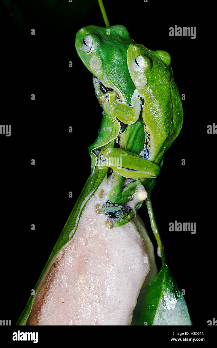Mating pair of sexually dimorphic Norhayati's Flying Frog in amplexus in the tropical rainforest of Malaysia - Stock Image