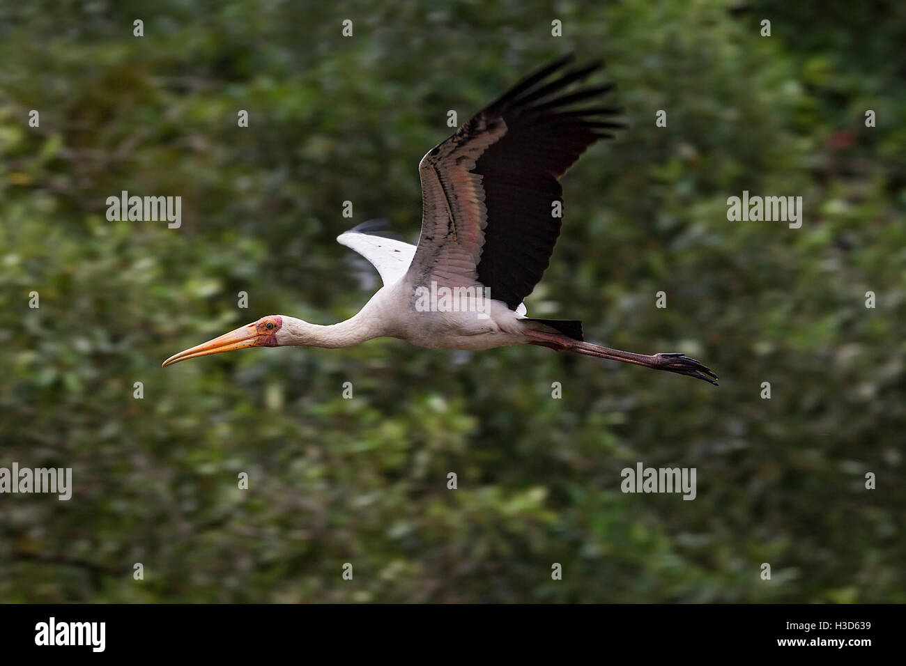 A Milky stork flying over a river in a mangrove forest, Sungei Buloh, Singapore Stock Photo