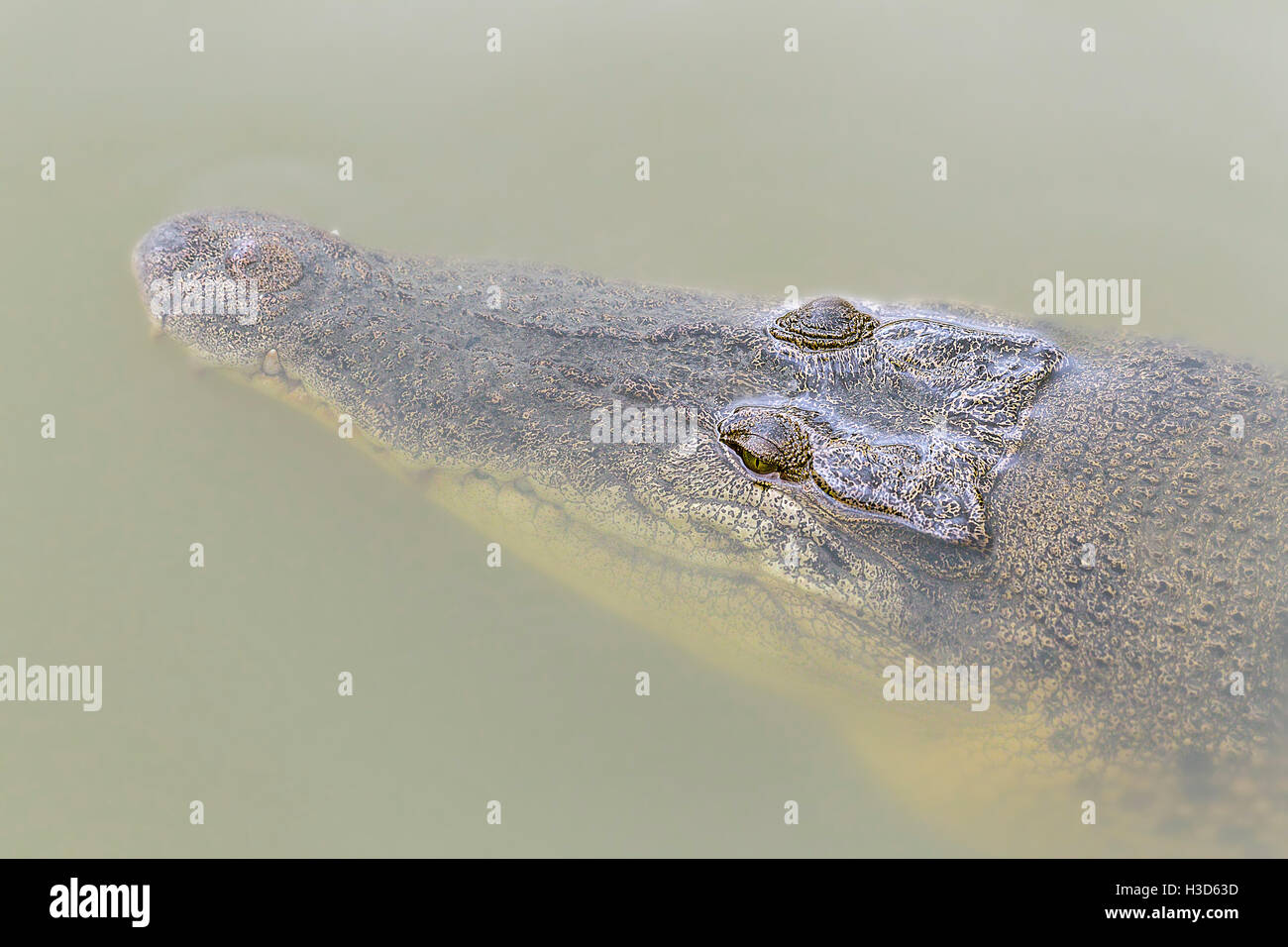 Close-up of a Saltwater Crocodile (Crocodylus porosus) submerged in a mangrove river, Sungei Buloh, Singapore - Stock Image