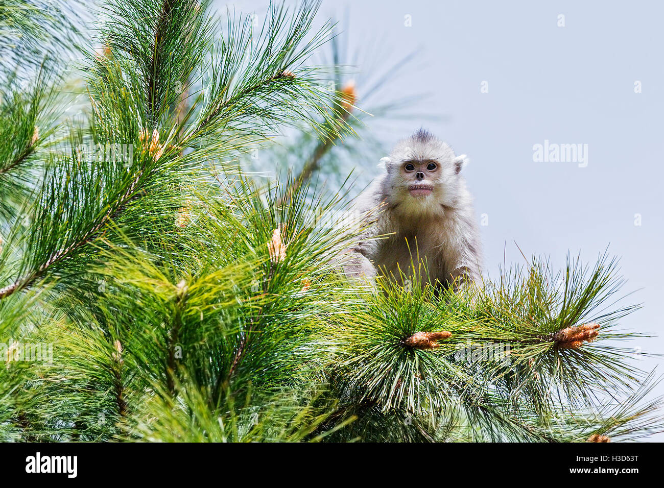 A young Black snub-nosed monkey sitting on the branches of a conifer tree in a Himalayan forest, Yunnan, China - Stock Image