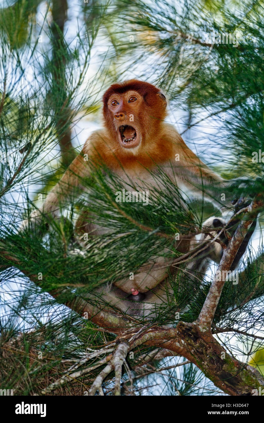 A male Proboscis monkey sits while still displaying his wide-open mouth threat to a troop of macaques, Sarawak, - Stock Image