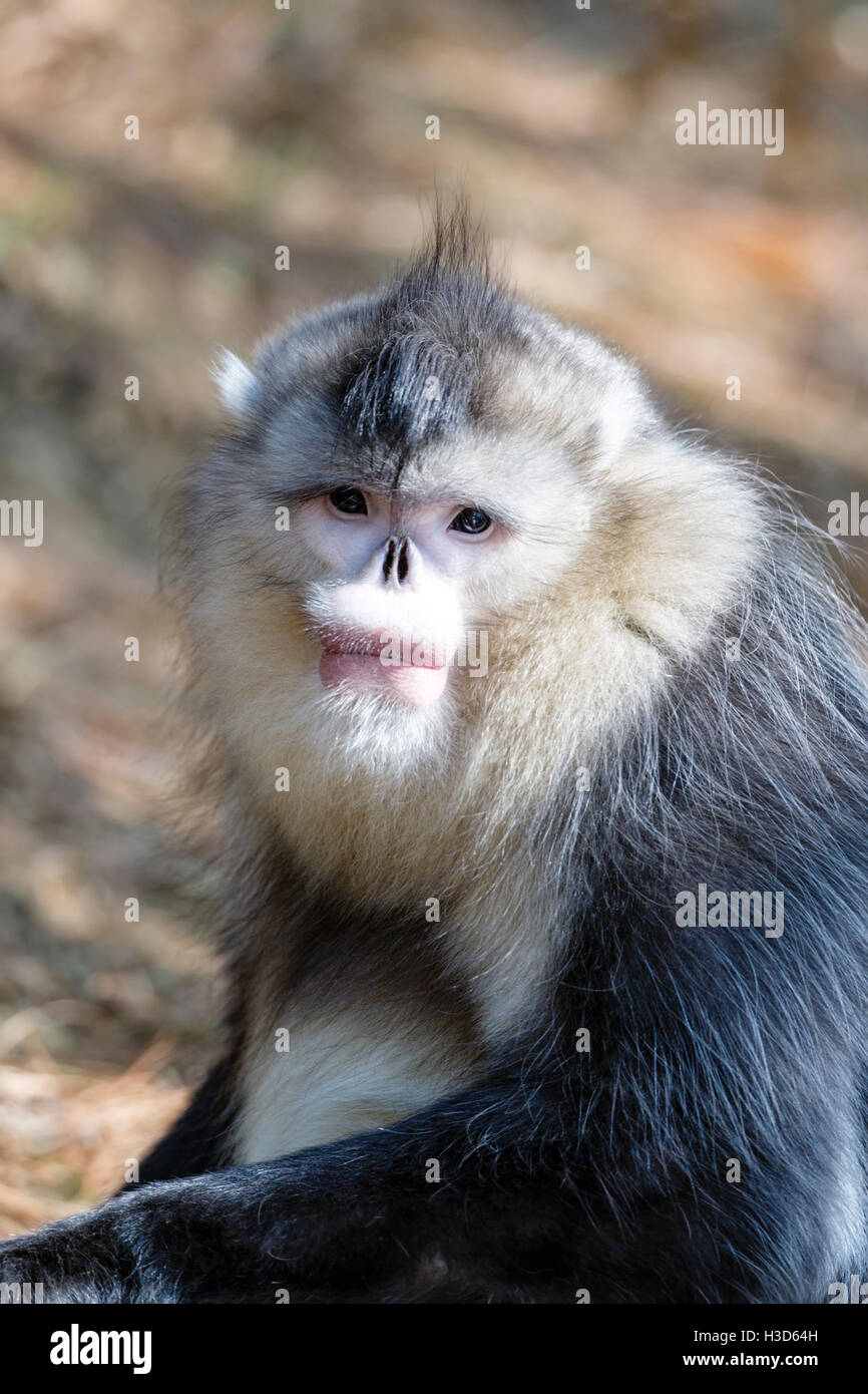 Close-up portrait of an adult male Black snub-nosed monkey in a Himalayan forest, Yunnan, China - Stock Image
