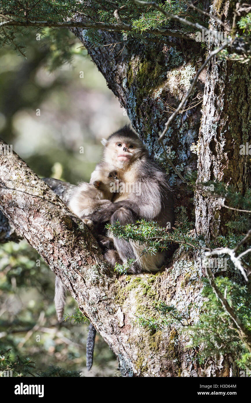 A female Black snub-nosed monkey suckles her infant in the boughs of a conifer tree in a Himalayan forest, Yunnan, - Stock Image