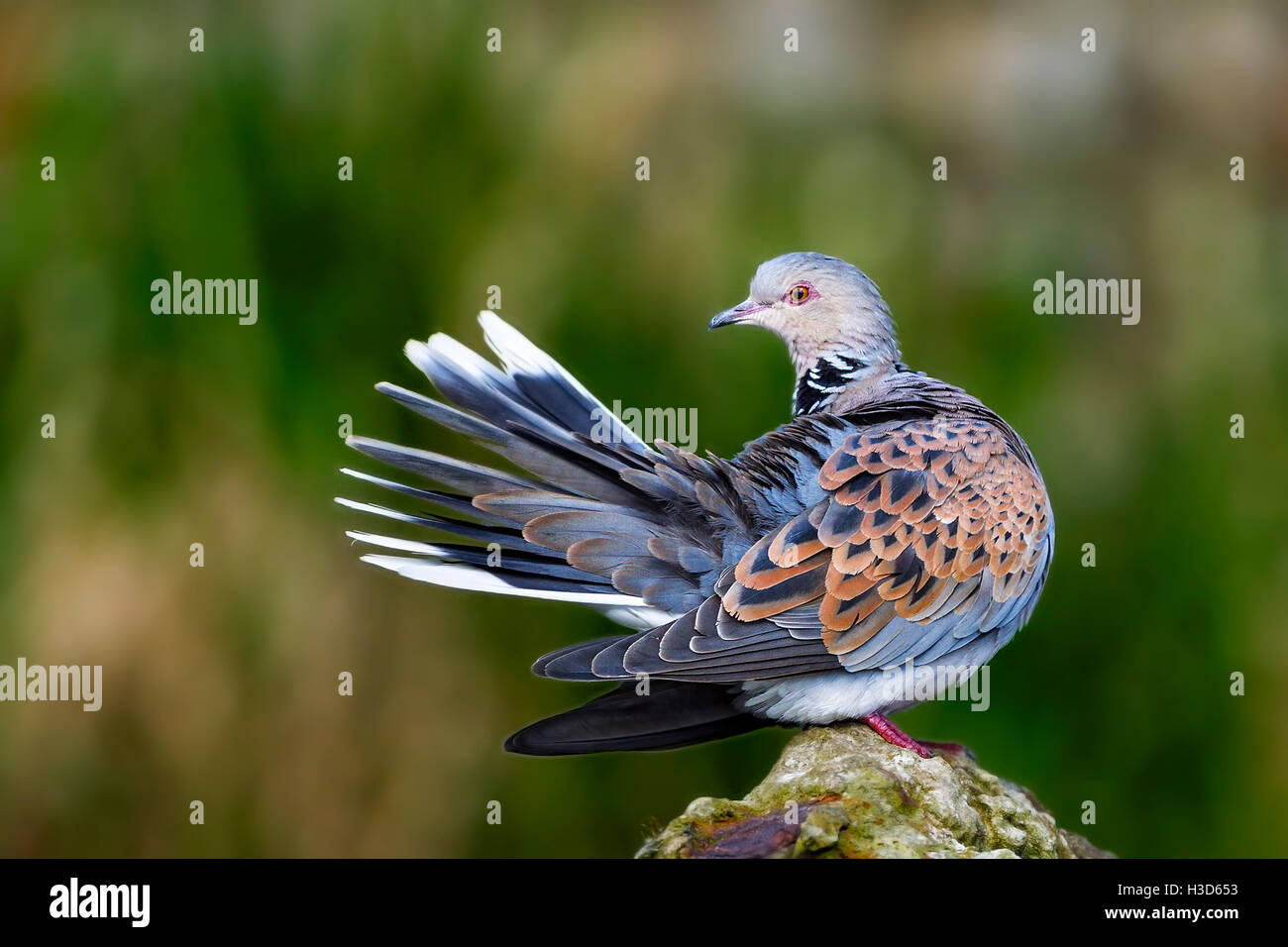 A captive Turtle dove (Streptopelia turtur) preening Pensthorpe, Norfolk, England - Stock Image