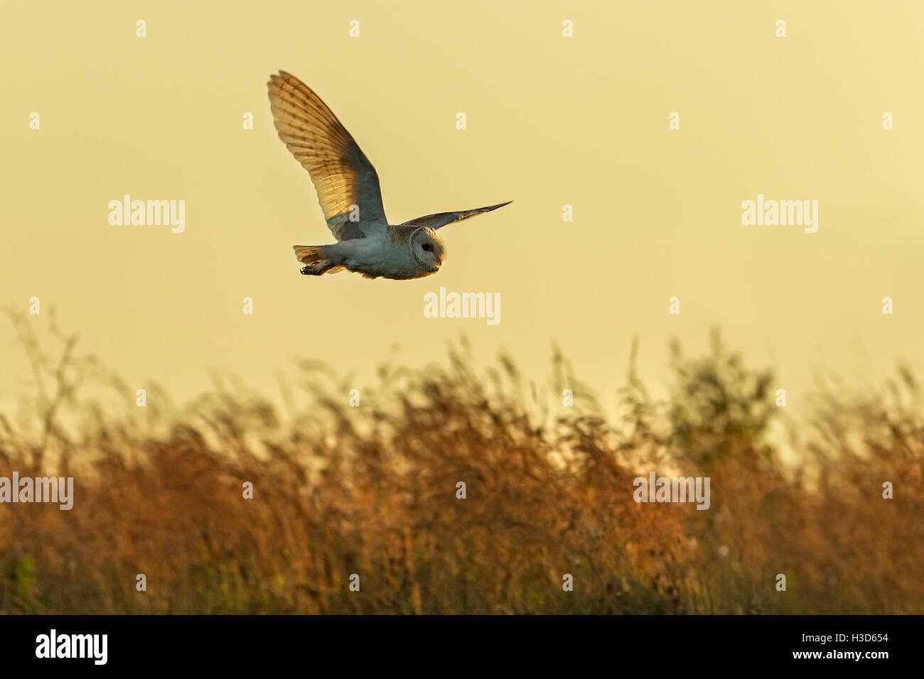 A barn owl in flight as it hunts by day, Norfolk, England Stock Photo