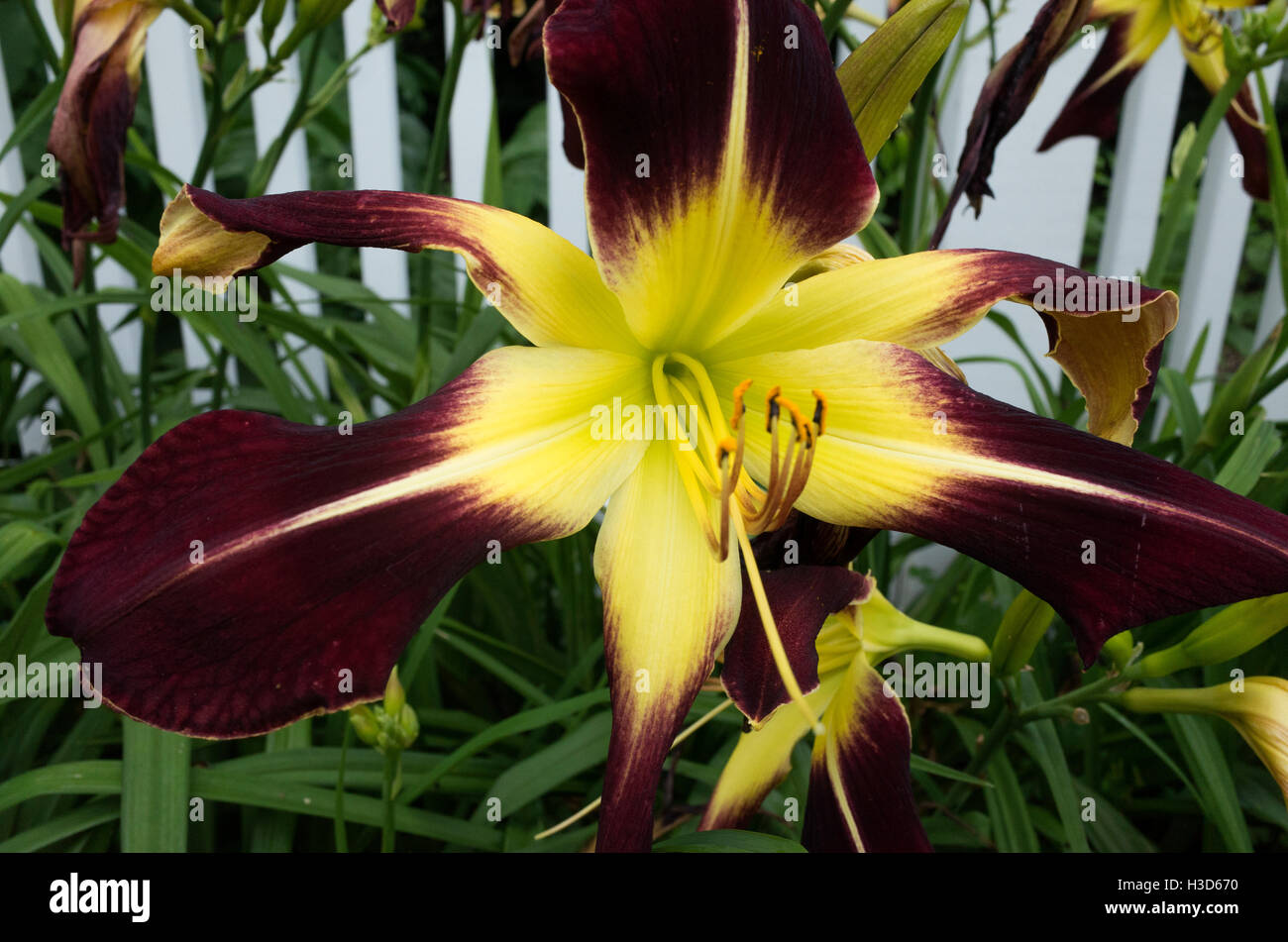 Lily like flower stock photos lily like flower stock images alamy gorgeous purple and yellow lily like flower blossom growing in a garden st paul minnesota izmirmasajfo Image collections