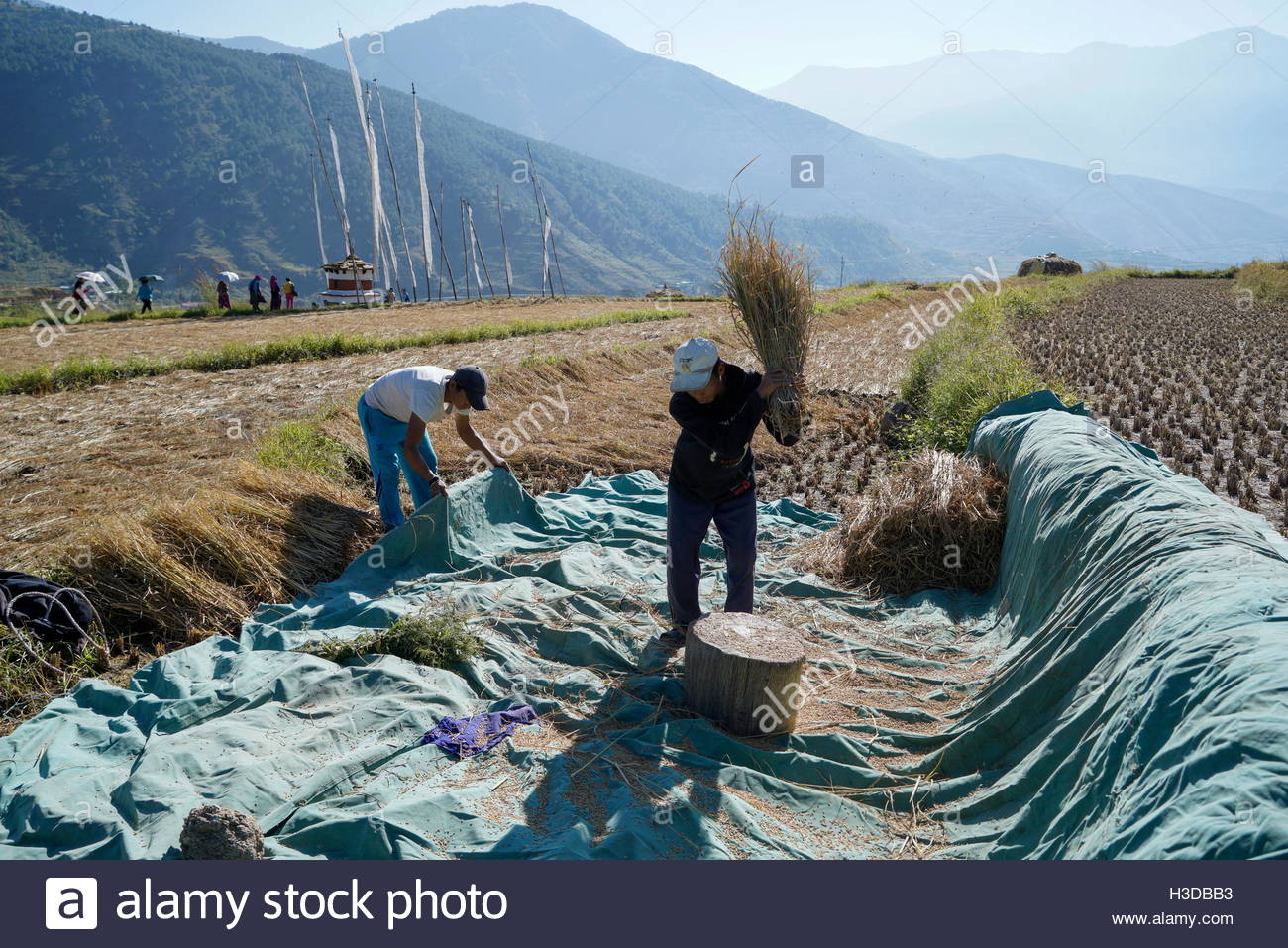 People working at rice fields near the Chime Lhakhang Monastery in Punakha District, Bhutan. - Stock Image