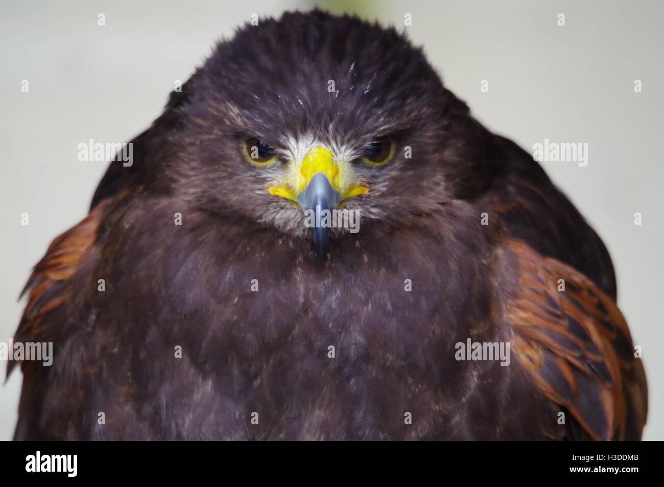 angry Harris hawk - Stock Image