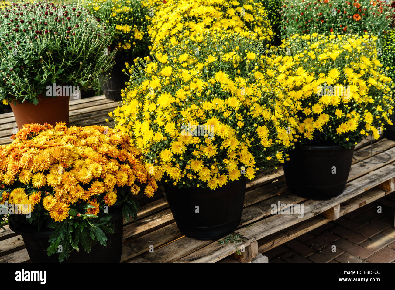 Fall potted mums on a greenhouse bench - Stock Image