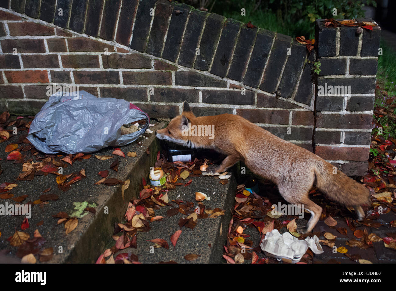 urban Red Fox, (Vulpes vulpes), searches at night through rubbish bag for food scraps in a front garden in London, - Stock Image