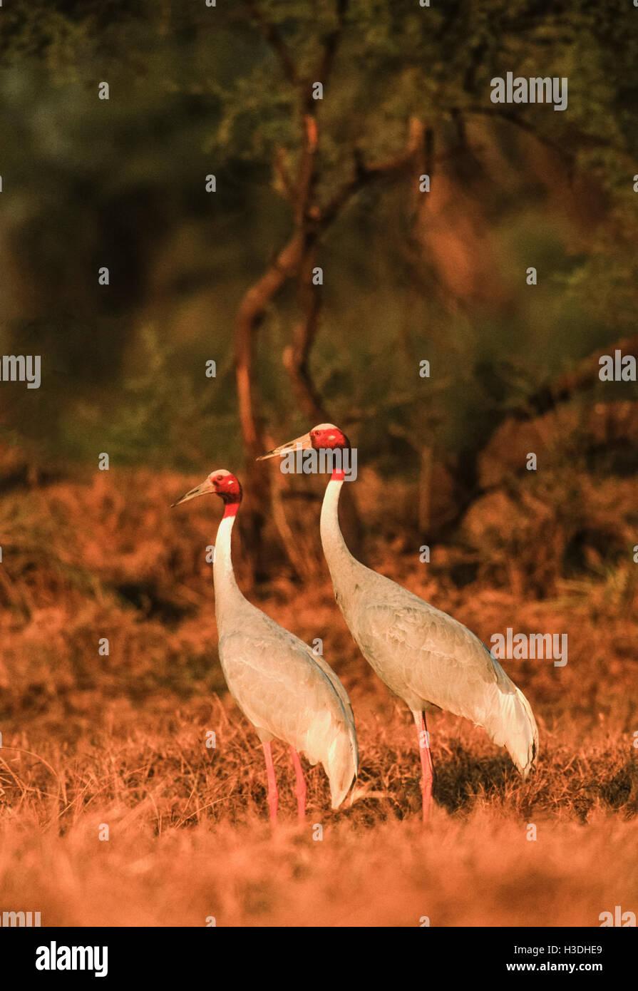 A breeding pair of Sarus Crane,(Grus antigone), at sunset in Keoladeo Ghana National Park, India, Stock Photo