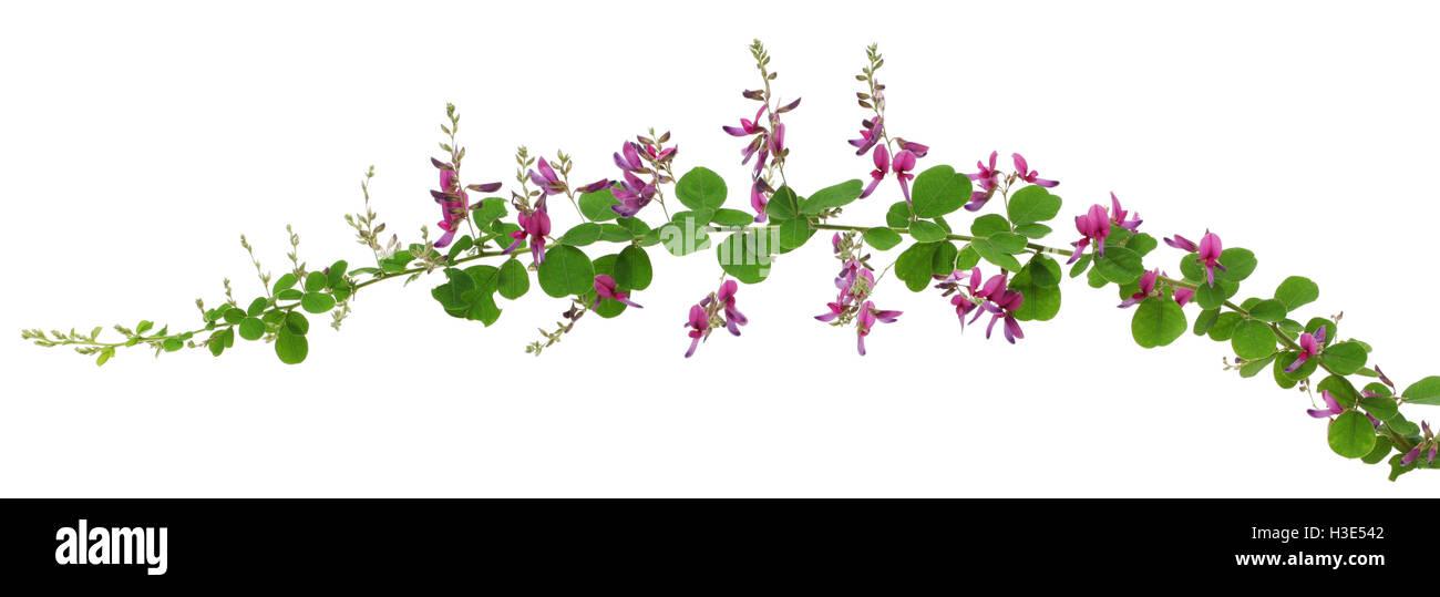 bush clover, lespedeza bicolor, japanese clover, hagi isolated on white background Stock Photo