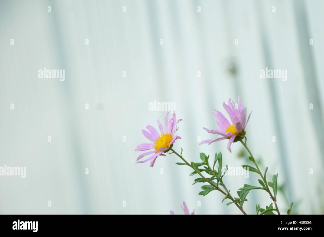 purple flower in the street - Stock Image