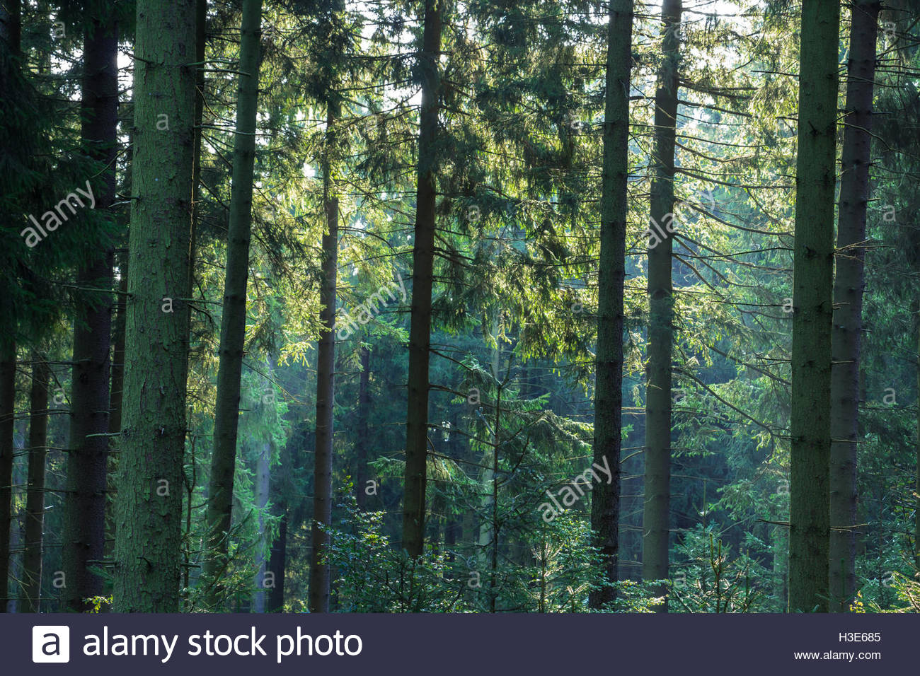 German nature landscape European peaceful forest abstract nature green forest sunlight conifer forest woodland scenery - Stock Image