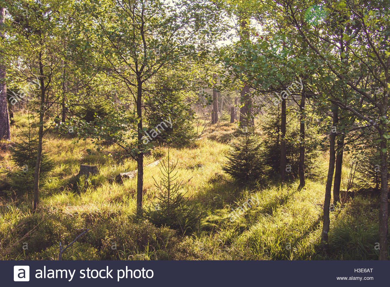 Travel destination Germany sustainable forest nature landscape forestry woodland landscape green forest sunlight - Stock Image