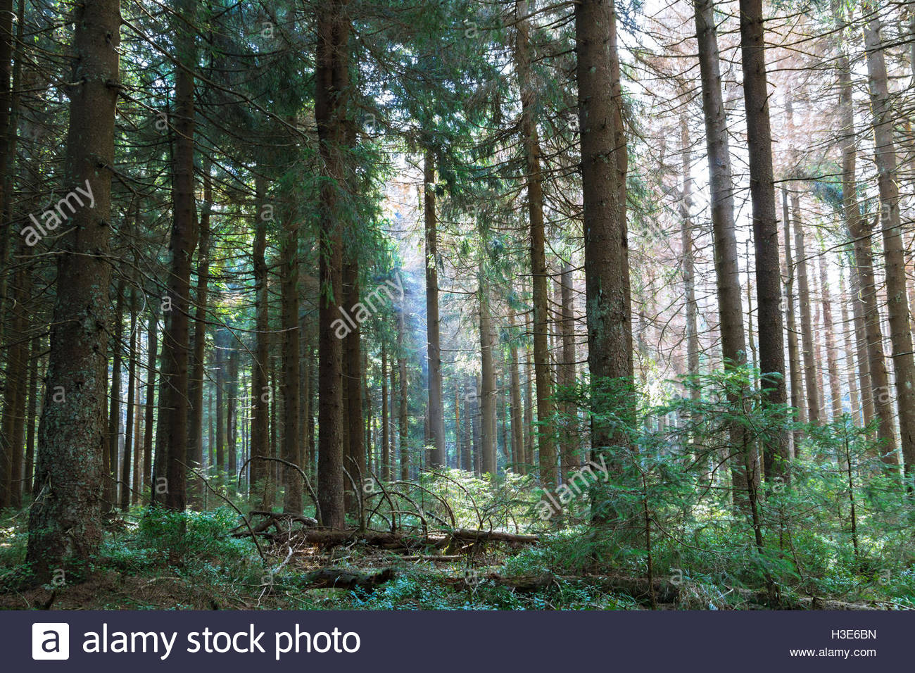 Woodland landscape trees green forest sunlight abstract nature peaceful forest sustainable german nature landscape - Stock Image