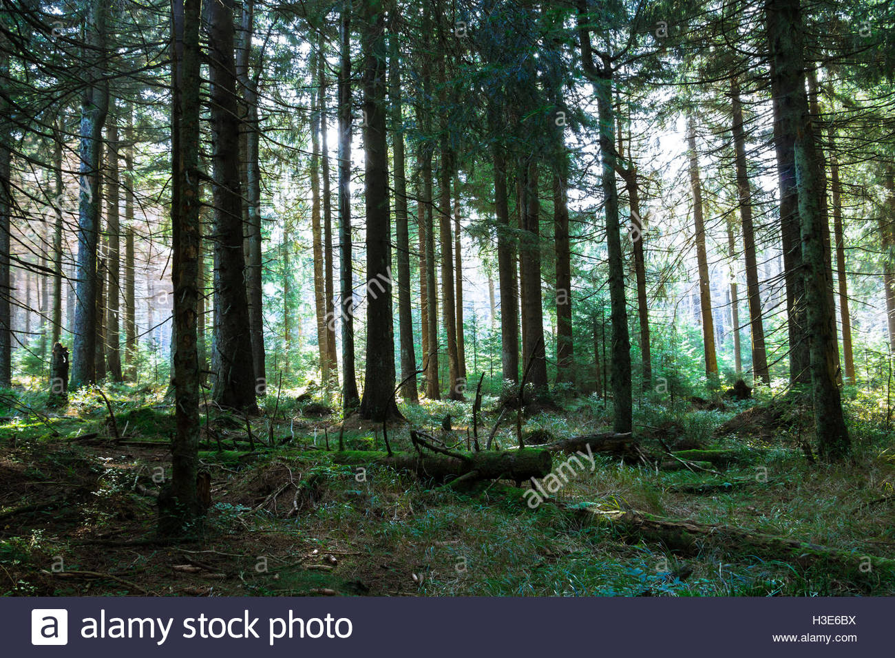 German National Park Harz Germany green forest sunlight peacefulness forestry woodland landscape abstract nature, - Stock Image