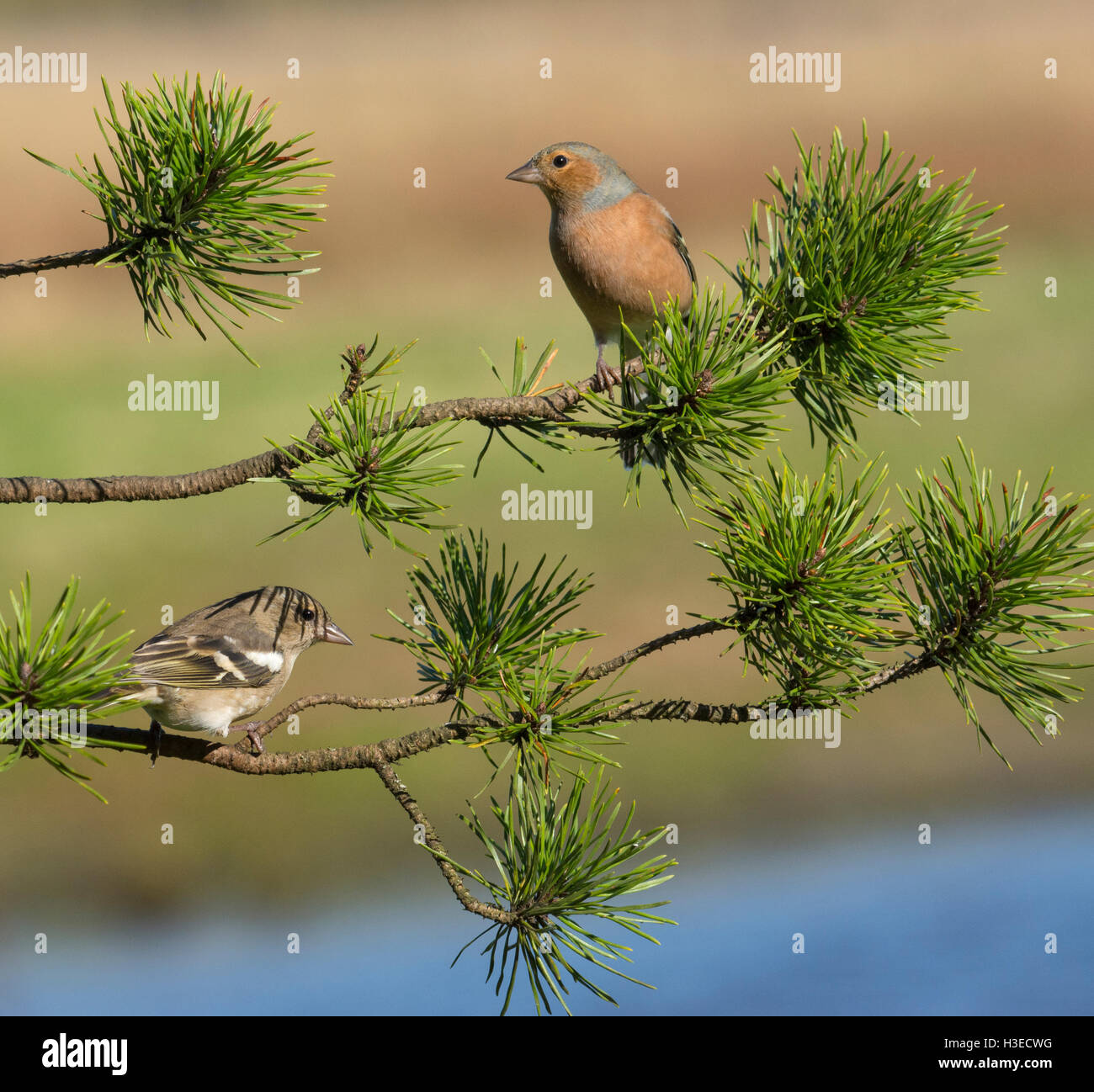 European Chaffinches - Stock Image