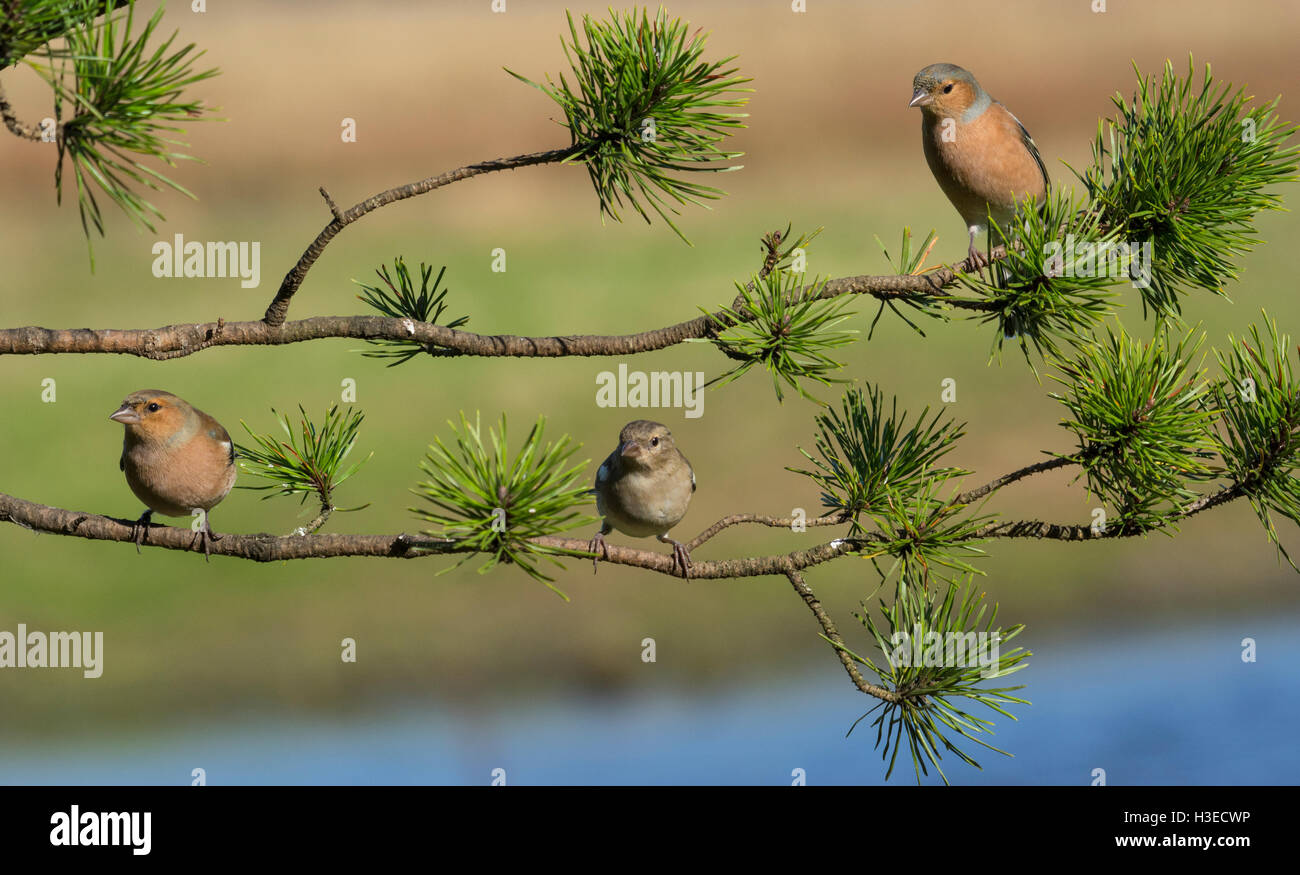 European Chaffinches Stock Photo