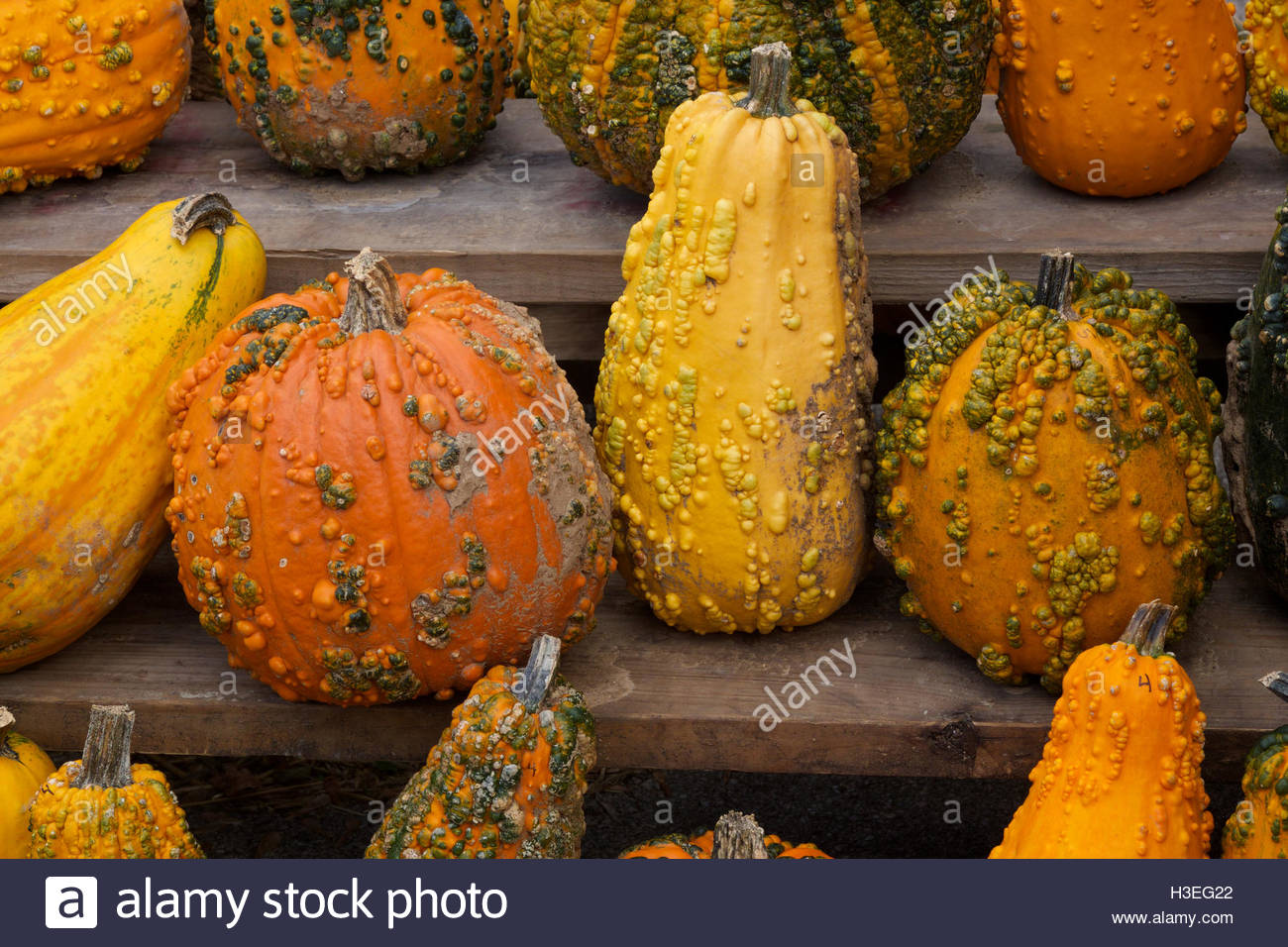 Colorful pumpkins and gourds on wooden board at a pumpkin patch in New Berlin, Wisconsin. - Stock Image