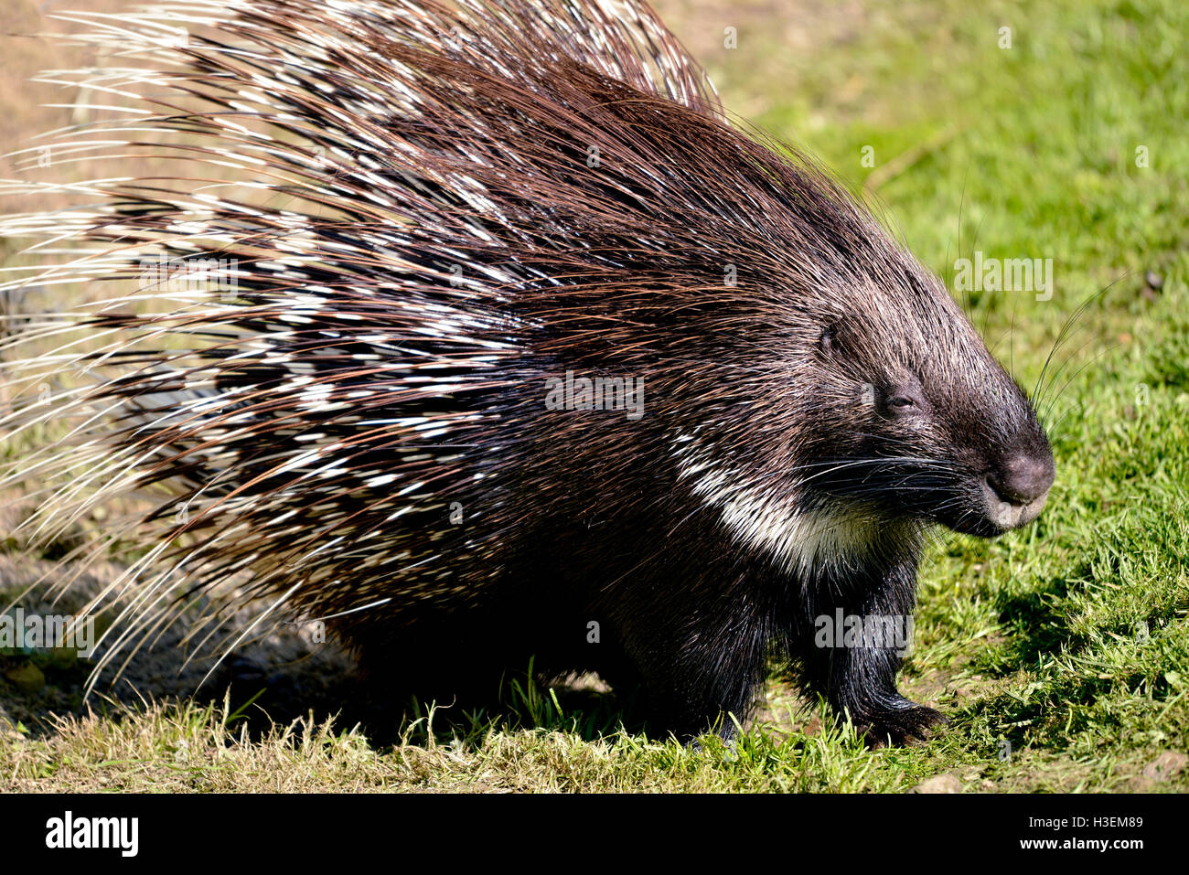 Closeup Indian Crested Porcupine (Hystrix indica) on grass - Stock Image